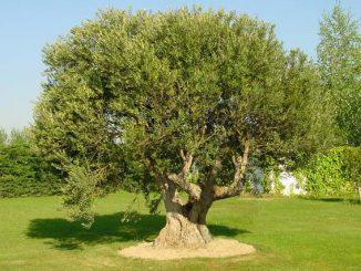 coltivare_olivo