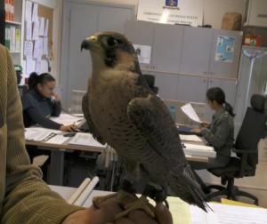 falco-pellegrino-in-centrale-300×252