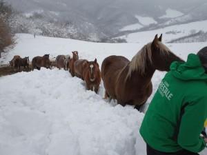 Carabinieri-Forestali-di-Fiastra-che-alimentano-cavalli-isolati-in-Loc.-Cicconi-2-300×225