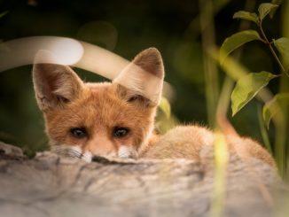 little-fox-2093053_960_720