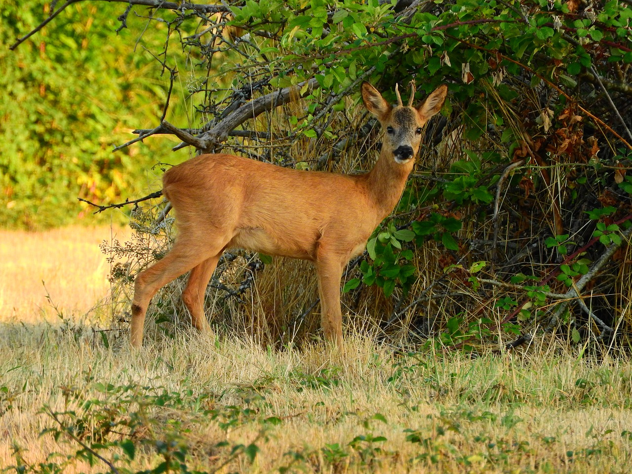 roe-deer-2752418_1280