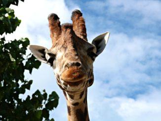 Foto giraffa Parco Zoo Falconara (1)