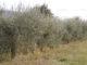 olio olivi (4)